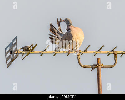 Female Wild Pigeon [Columba] perched on a TV Aerial, preening herself as part of a courtship ritual. - Stock Photo