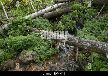 Protected forest Feldberg Black Forest Germany