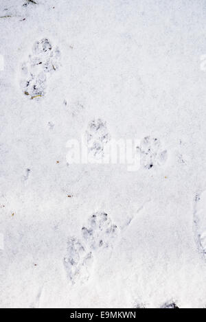 dog tracks on fresh snow - Stock Photo