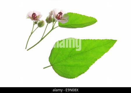 Marshmallow (Althaea officinalis) - Stock Photo