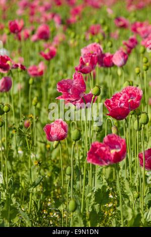 Opium poppy, Papaver somniferum - Stock Photo
