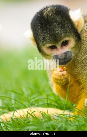 squirrel monkeys (Saimiri) - Stock Photo
