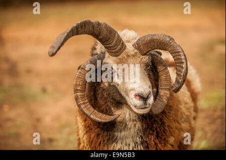 A Jacob sheep with multi-colored wool. - Stock Photo
