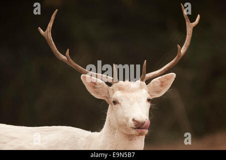 The white fallow buck appears to have seen something that looks good. - Stock Photo
