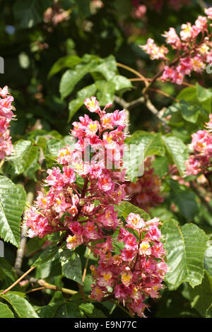 Red blooming buckeye tree (aesculus x camea) - Stock Photo