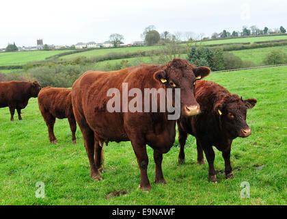 ruby red devon cattle - Stock Photo