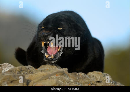 Leopard (Panthera pardus - Melanistic black captive , Bozeman, Montana, USA - Stock Photo