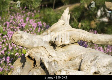 Old bizarre root