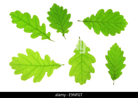 Oak leaves (Quercus robur) - Stock Photo