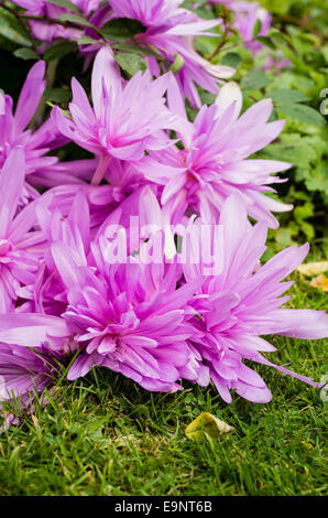 Waterliily-like Autumn crocus flowers - Stock Photo