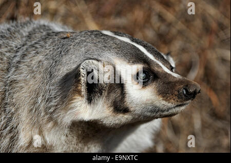 American badger (Taxidea taxus) Elderly captive specimen with eye cataracts, Bozeman, Montana, USA - Stock Photo