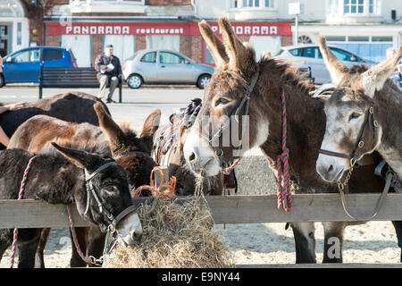 Donkeys eating hay on Weymouth beach dorset UK - Stock Photo