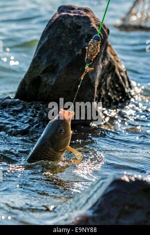Fighting a Common carp (Cyprinus carpio) on a fishing line. - Stock Photo