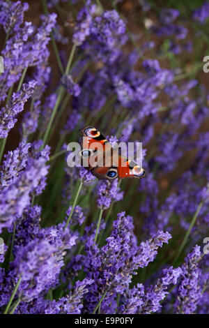 peacock butterfly, Inachis io, single, settled on Norfolk Lavender (Heacham, Norfolk, East Anglia, England) - Stock Photo