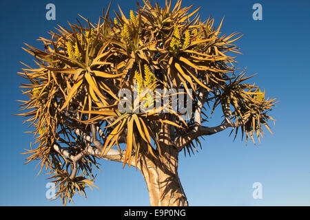 Quiver tree in flower, Aloe dichotoma, Quiver tree forest, Keetmanshoop, Namibia, Africa - Stock Photo