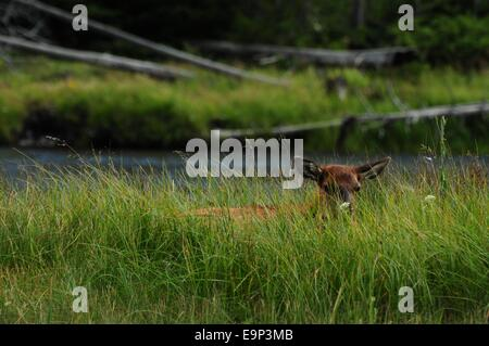 Nap time for Elk calf in Yellowstone National Park Wyoming - USA - Stock Photo