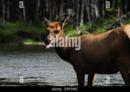 Cow Elk standing in river.  He tongue was sticking out. - Stock Photo