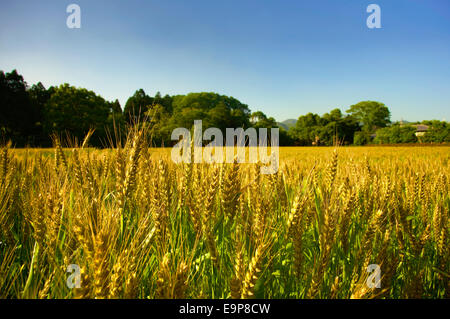 A field of common wheat (Triticum Aestivum) in Kyoto, Japan - Stock Photo