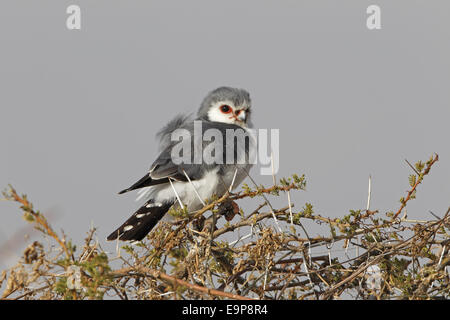 African Pygmy-falcon (Polihierax semitorquatus) adult, perched on thorn bush, Arusha, Tanzania, July - Stock Photo