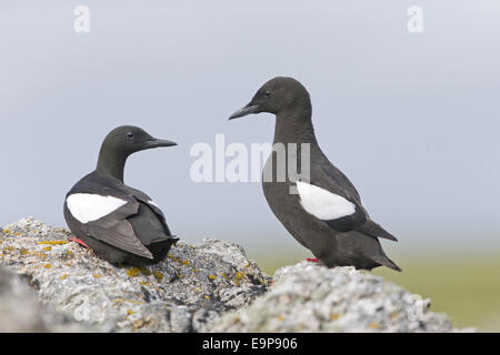 Black Guillemot (Cepphus grylle) adult pair, breeding plumage, standing on rocks, Shetland Islands, Scotland, June - Stock Photo