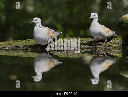Eurasian Turtle-dove (Streptopelia turtur) adult pair, drinking at pool in woodland, Hortobagy N.P., Hungary, April - Stock Photo
