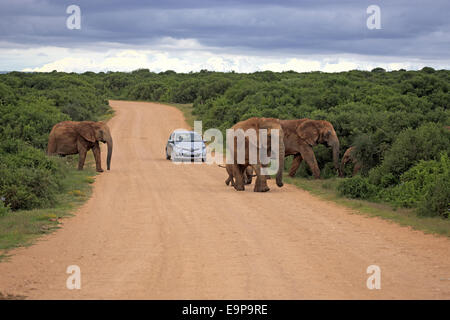 African Elephant (Loxodonta africana) adult females and calves, herd crossing road with car, Addo Elephant N.P., - Stock Photo