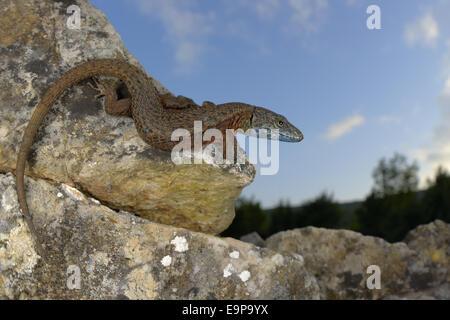 Blue-throated Keeled Lizard (Algyroides nigropunctatus) adult, basking on rocks, Croatia, April - Stock Photo