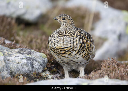 Rock Ptarmigan (Lagopus muta) adult female, summer plumage, standing amongst rocks, Niederhorn, Swiss Alps, Bernese - Stock Photo
