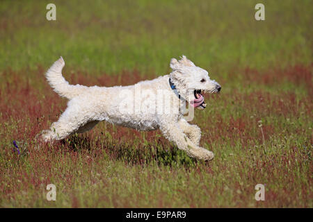 Domestic Dog, Labradoodle, adult male, wearing collar, running in meadow, Rhineland-Palatinate, Germany, May - Stock Photo