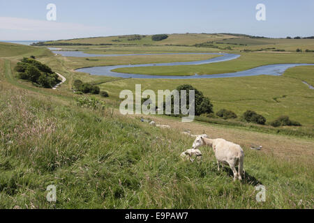 Domestic Sheep, flock, grazing on hillside overlooking meandering river in coastal floodplain, River Cuckmere, Seven - Stock Photo