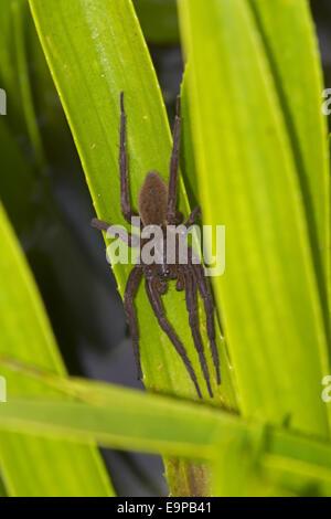 Fen Raft Spider (Dolomedes plantarius) unstriped form, adult female, guarding summer nursery web, at broadland relocation - Stock Photo