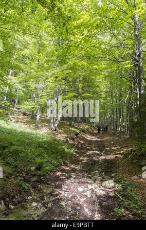 People walking in Common Beech forest at Bogdan National Park Bulgaria - Stock Photo