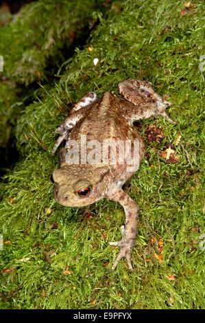 Common Toad - Bufo bufo - Stock Photo