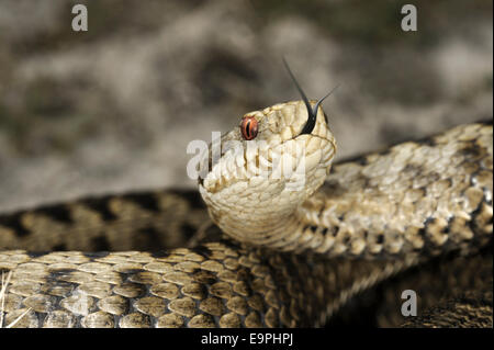 Adder - Vipera berus - Stock Photo