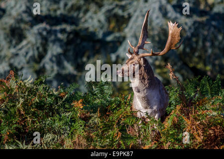 A British Fallow Deer Buck Stag Close up posing in the bracken - Stock Photo