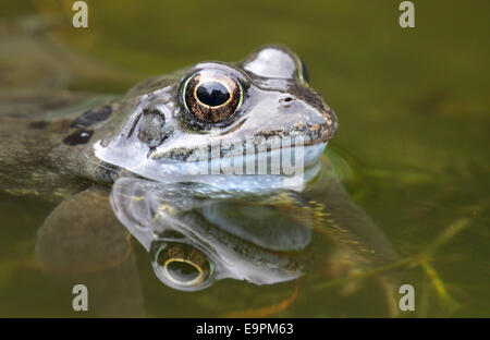 Common Frog - Rana temporaria - Stock Photo