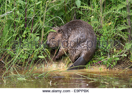 Eurasian beaver (Castor fiber), captive in breeding programme, UK - Stock Photo