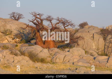 Baobab trees on the granite mass of Kubu Island (Lekhubu) at sunrise, Magkadigkadi Pan, Botswana - Stock Photo