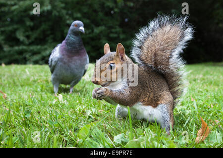 Grey squirrel (Sciurus carolinensis), in city park with pigeon, Brandon Park, Bristol, UK - Stock Photo