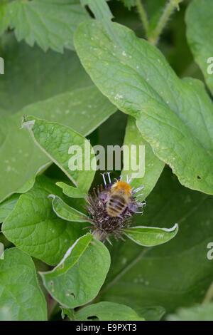 Bombus pascuorum, Bumble Bee feeding on Greater Burdock, Wales, UK - Stock Photo