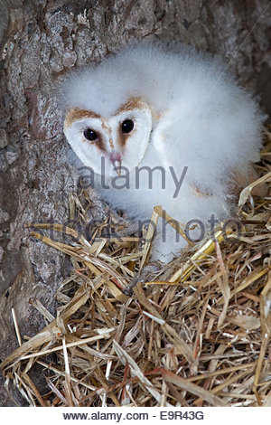 Barn owl chick, Tyto alba, captive, UK, Cumbria - Stock Photo