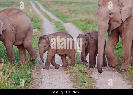 Indian Elephant and young ones, crossing the track - Corbett National Park, India. - Stock Photo