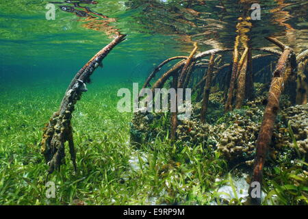 Mangrove underwater with sea life in the roots, Atlantic ocean, Bahamas - Stock Photo
