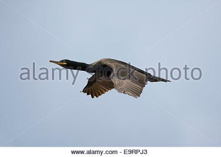 Shag flying, Phalacrocorax aristotelis, Farne Islands, Northumberland, UK - Stock Photo