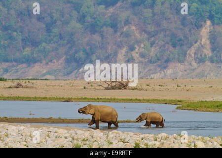 Indian Elephant, mother and calf, crossing the river Ramganga, Corbett Natiuonal Park, India. - Stock Photo
