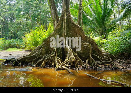 Tropical tree with buttress roots at the edge of a swamp in the jungle of Costa Rica - Stock Photo
