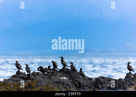 Colony of Cormorant coastal birds, Phalacrocorax carbo, on rocks on Isle of Canna part of the Inner Hebrides and - Stock Photo