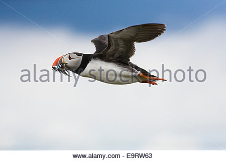 Puffin, Fratercula arctica, flying in with sandeels, Farne Islands, Northumberland, UK - Stock Photo