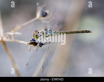 Female Common Darter dragonfly, Sympetrum striolatum, near a small stream on Crete, Greece. - Stock Photo