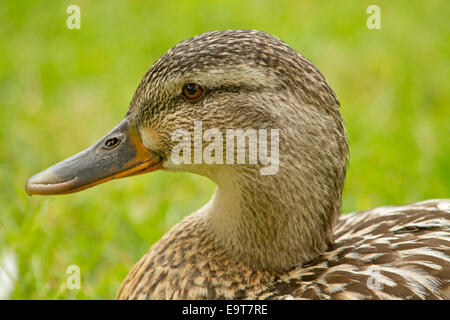 Portrait of face of female Mallard duck with yellow edged black bill, brown speckled feathers, sparkling eye, green - Stock Photo